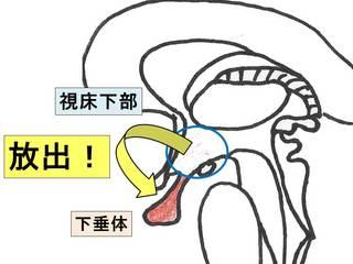 ホルモン�J床下部・下垂体).jpg