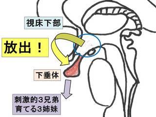 ホルモン(視床下部・下垂体)2 .jpg
