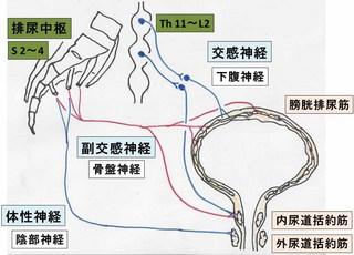 排尿反射.jpg