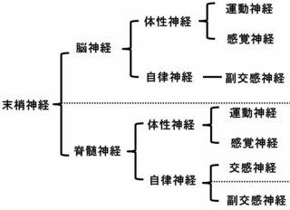 末梢神経の分類�B.jpg
