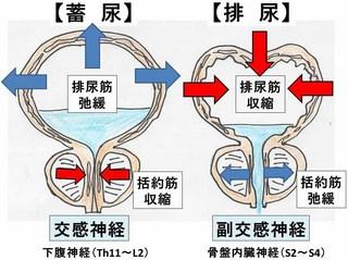 膀胱3.jpg