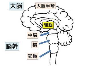 間脳.jpg
