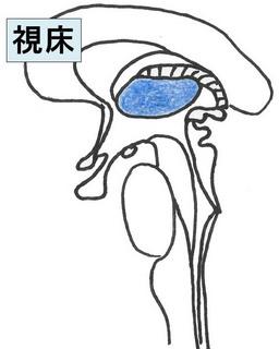 間脳1.jpg