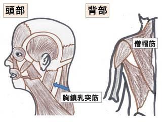 首の筋肉.jpg